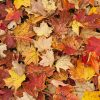 Nature: Fall Leaves