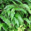 Nature: Sword Fern