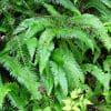 Nature: Sword Fern